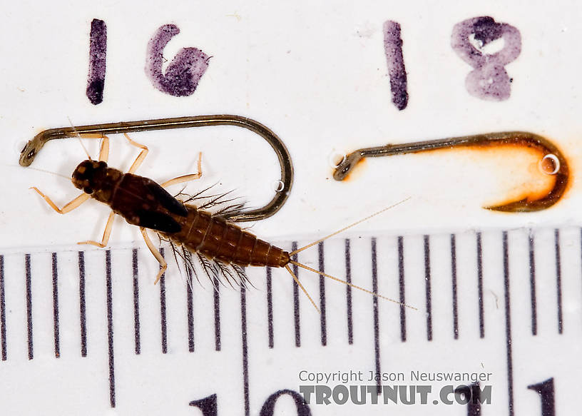 Neoleptophlebia Mayfly Nymph from Mongaup Creek in New York