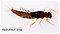 Neoleptophlebia  Mayfly Nymph
