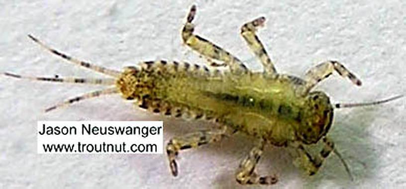 Ephemerella invaria (Sulphur Dun) Mayfly Nymph from the Namekagon River in Wisconsin