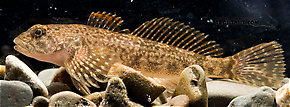 Cottidae (Sculpins) Fish Adult