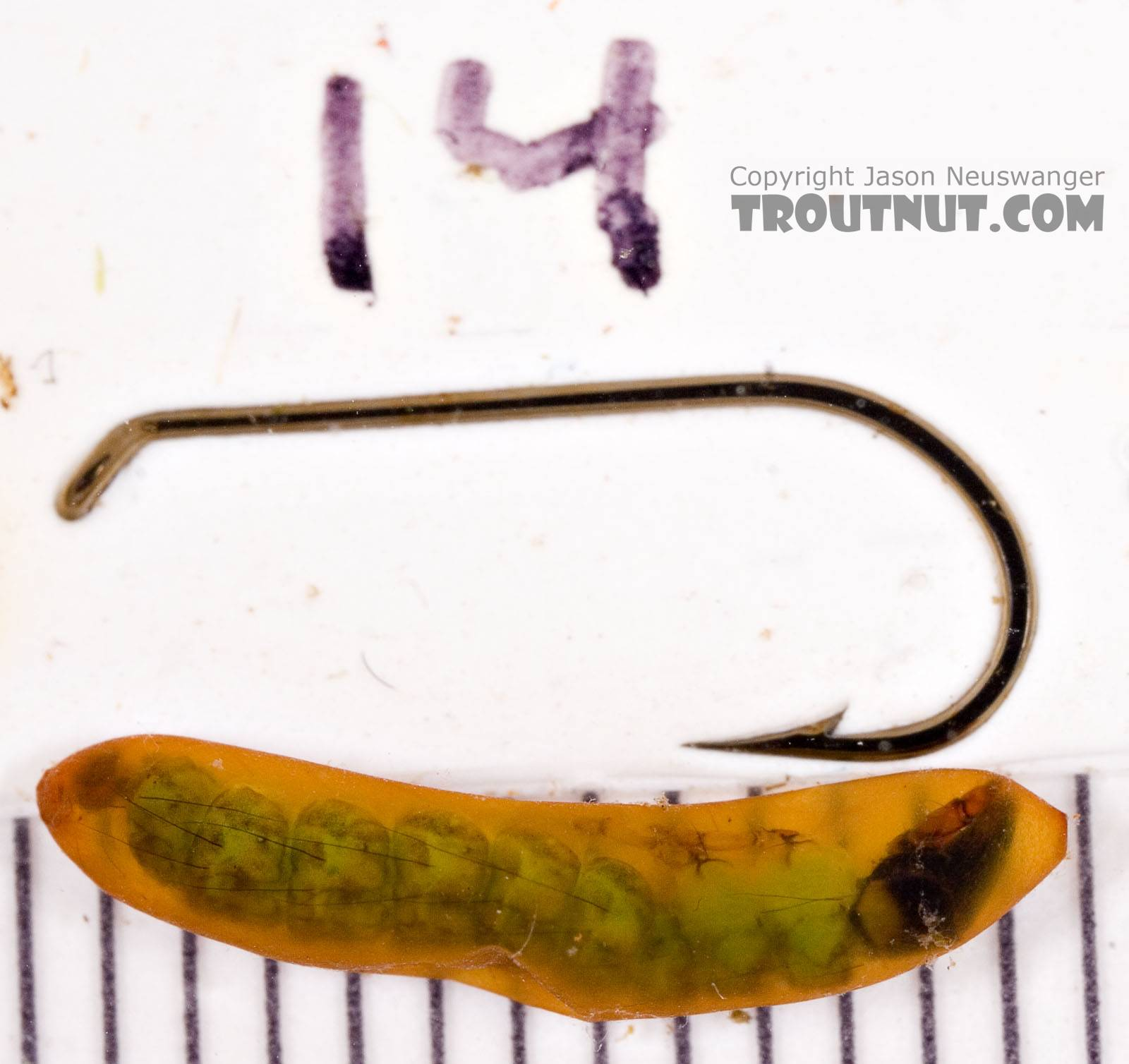 Rhyacophila (Green Sedges) Caddisfly Pupa from Mongaup Creek in New York