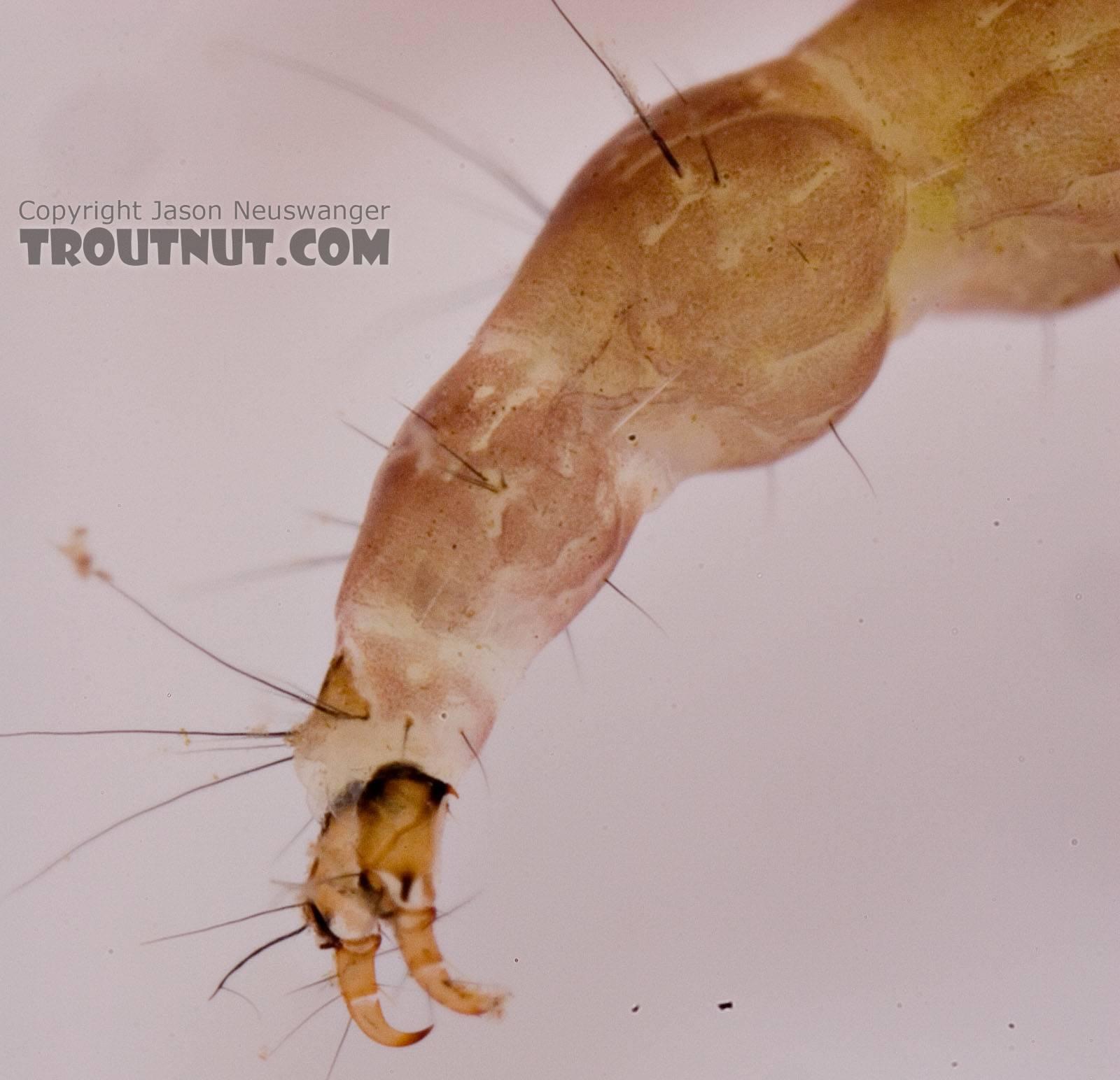 Rhyacophila carolina (Green Sedge) Caddisfly Larva from Mongaup Creek in New York