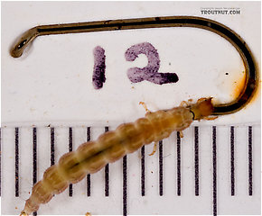 Rhyacophila carolina (Green Sedge) Caddisfly Larva