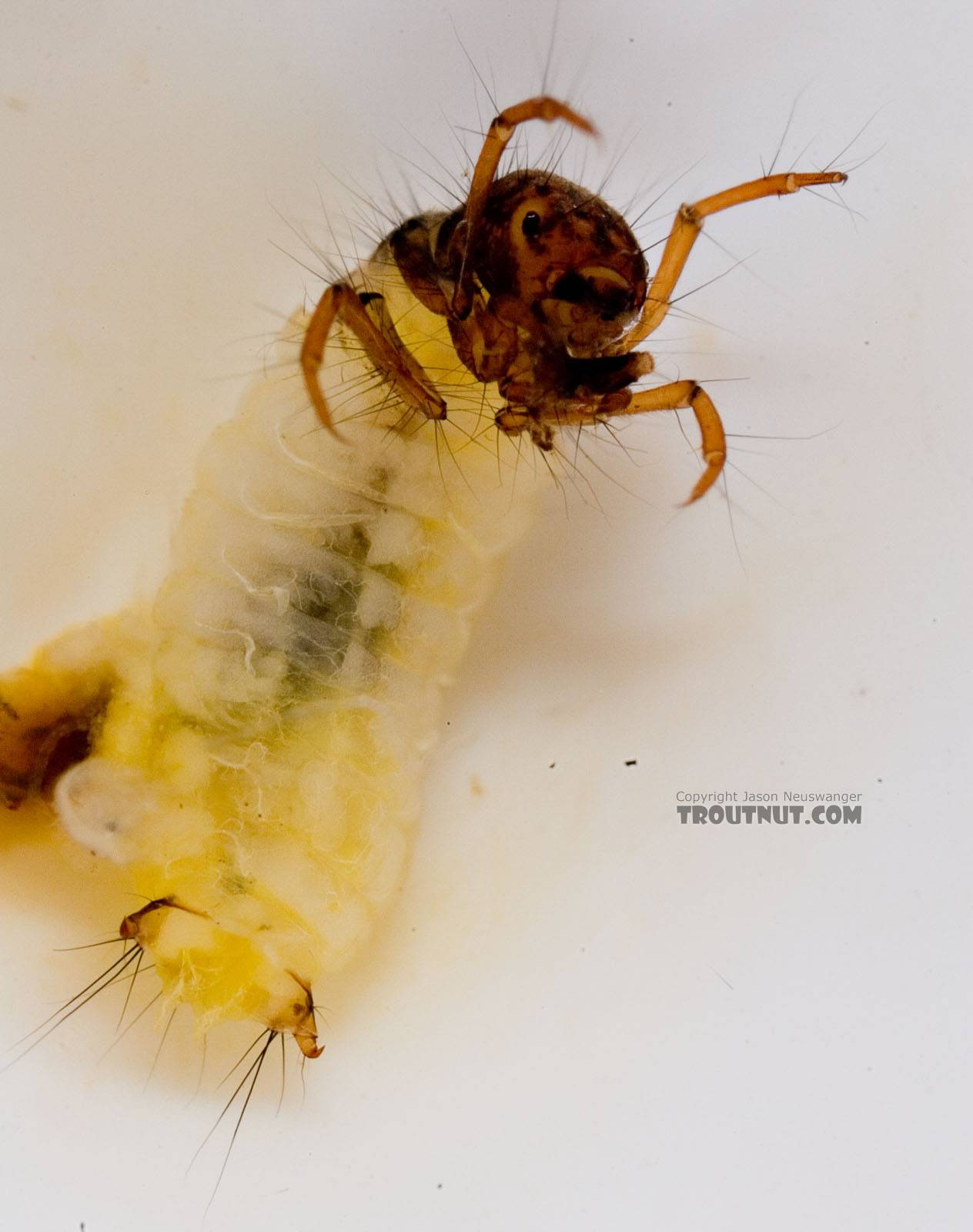 Lepidostoma (Little Brown Sedges) Little Brown Sedge Larva from Mongaup Creek in New York