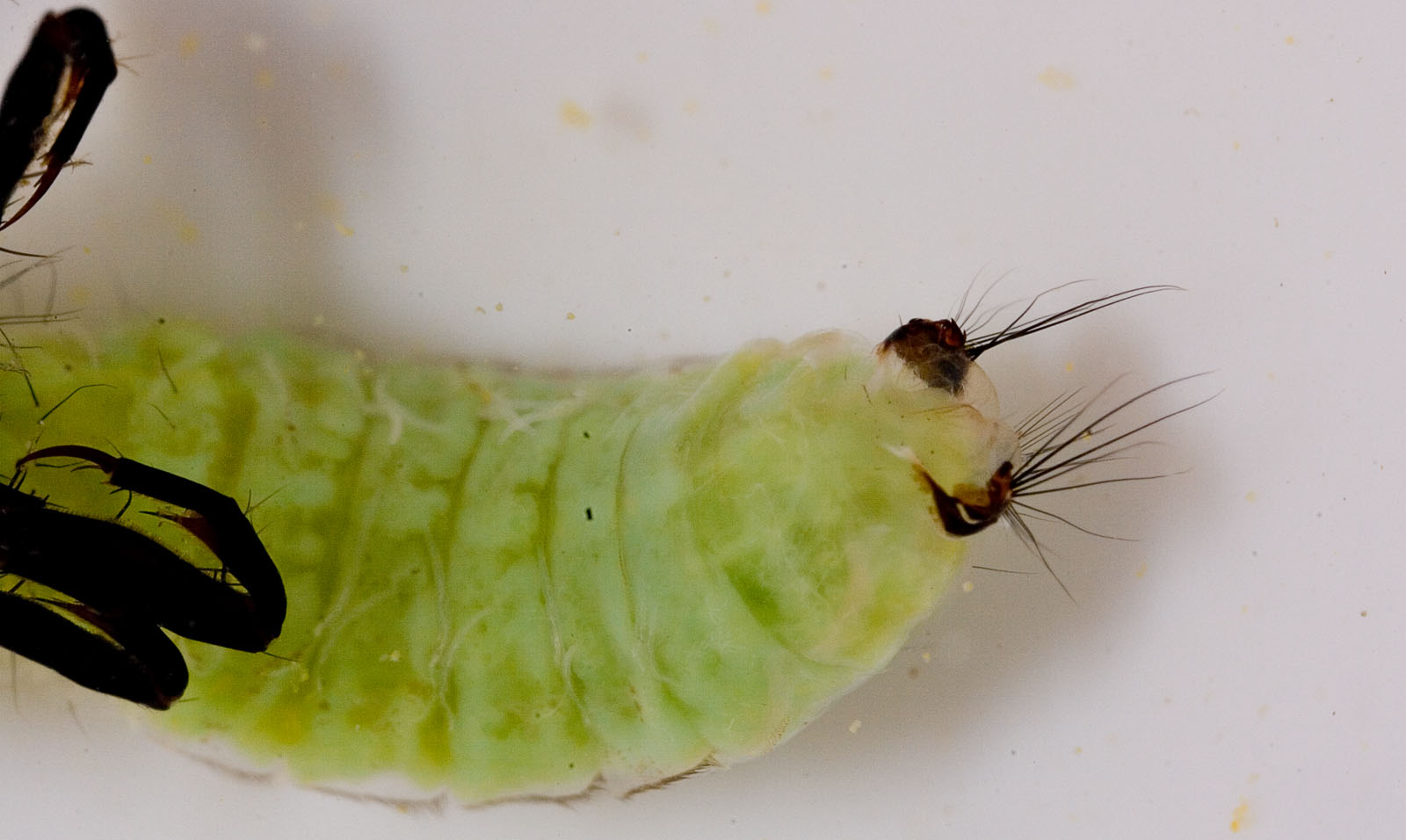 Brachycentridae (Apple Caddis and Grannoms) Caddisfly Pupa from Mongaup Creek in New York