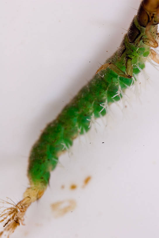Hydropsychidae Caddisfly Larva from Mongaup Creek in New York