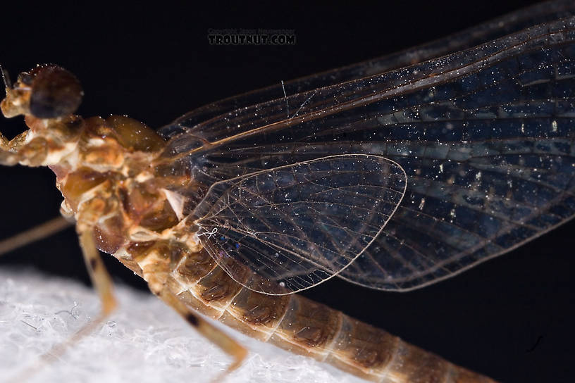 Male Epeorus (Little Maryatts) Mayfly Spinner from Unnamed trib of Factory Brook along 42a in New York