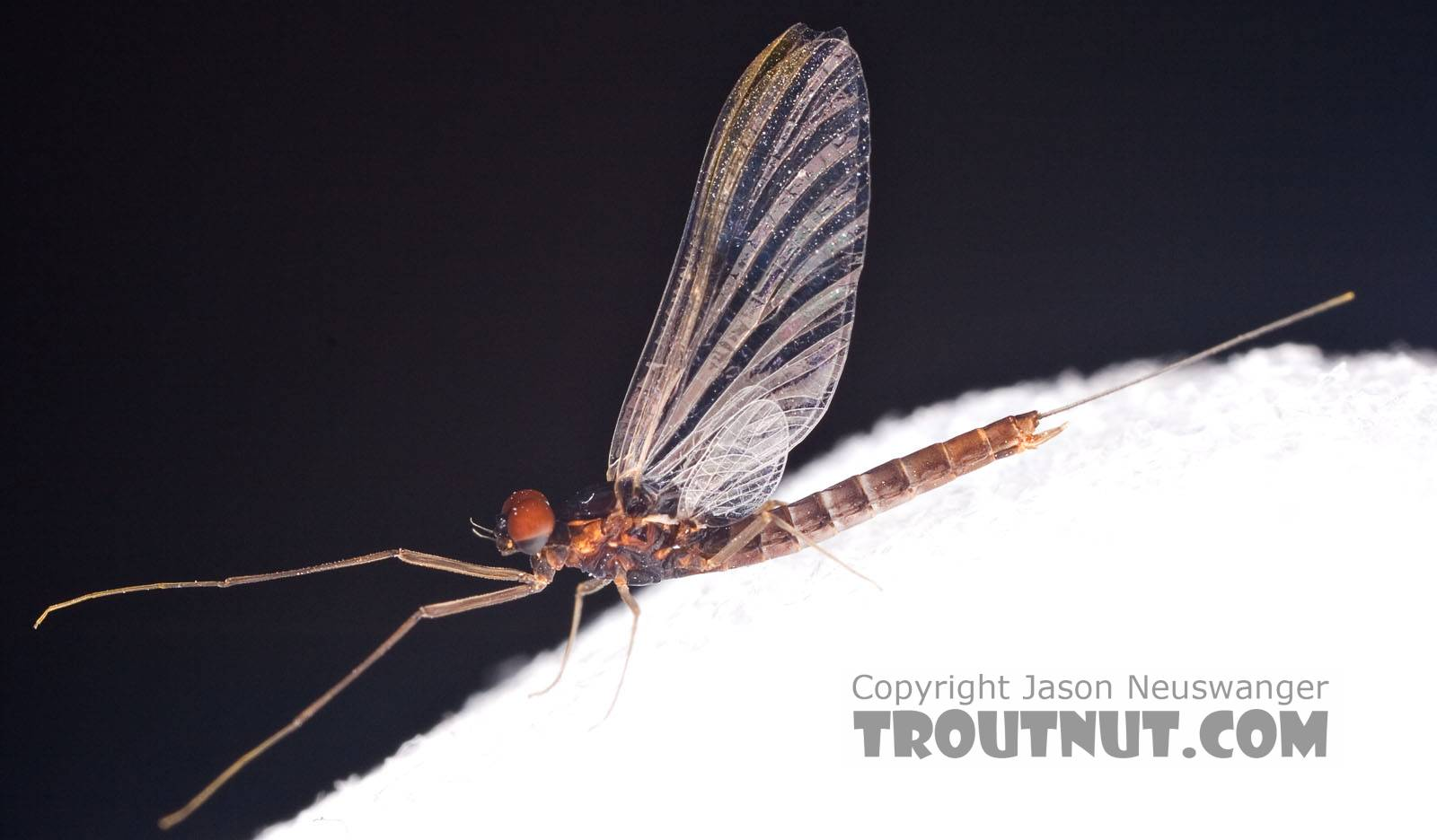 Male Neoleptophlebia adoptiva (Blue Quill) Mayfly Spinner from Factory Brook in New York