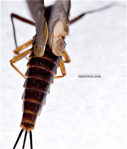 Female Leptophlebia (Black Quills and Blue Quills) Mayfly Dun