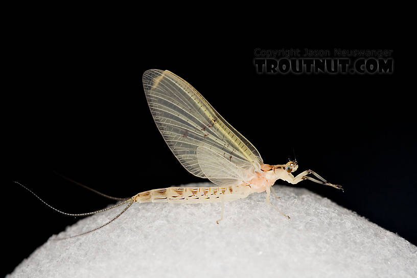 Female Ephemera varia (Yellow Drake) Mayfly Dun from Aquarium in New York