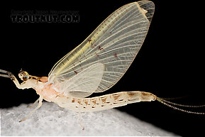 Ephemera varia (Yellow Drake) Mayfly Dun