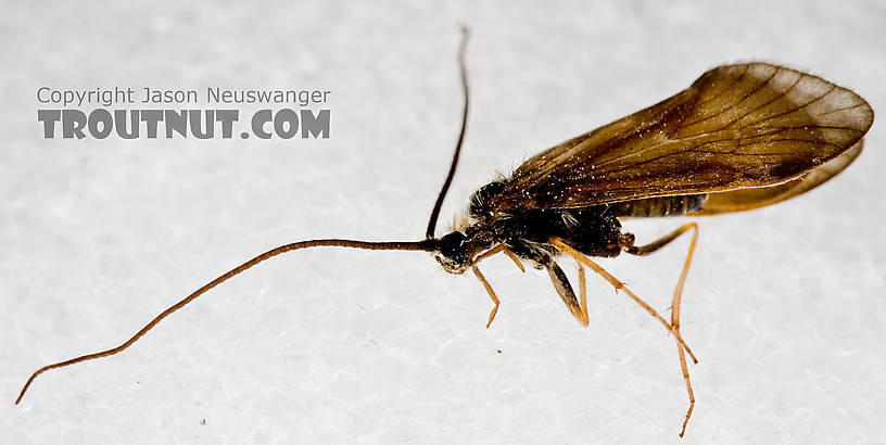 Apatania (Early Smoky Wing Sedges) Caddisfly Adult from the West Branch of the Delaware River in New York