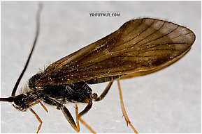 Apatania (Early Smoky Wing Sedges) Caddisfly Adult