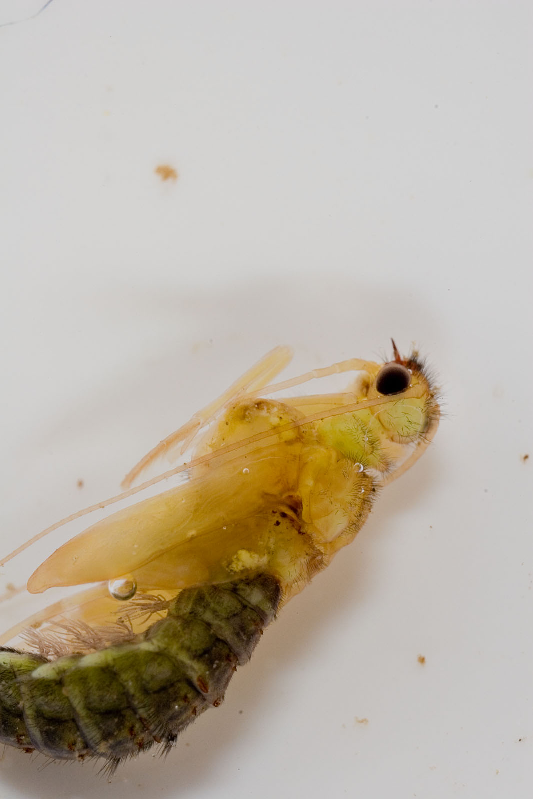 Hydropsyche (Spotted Sedges) Caddisfly Pupa from the Delaware River in New York