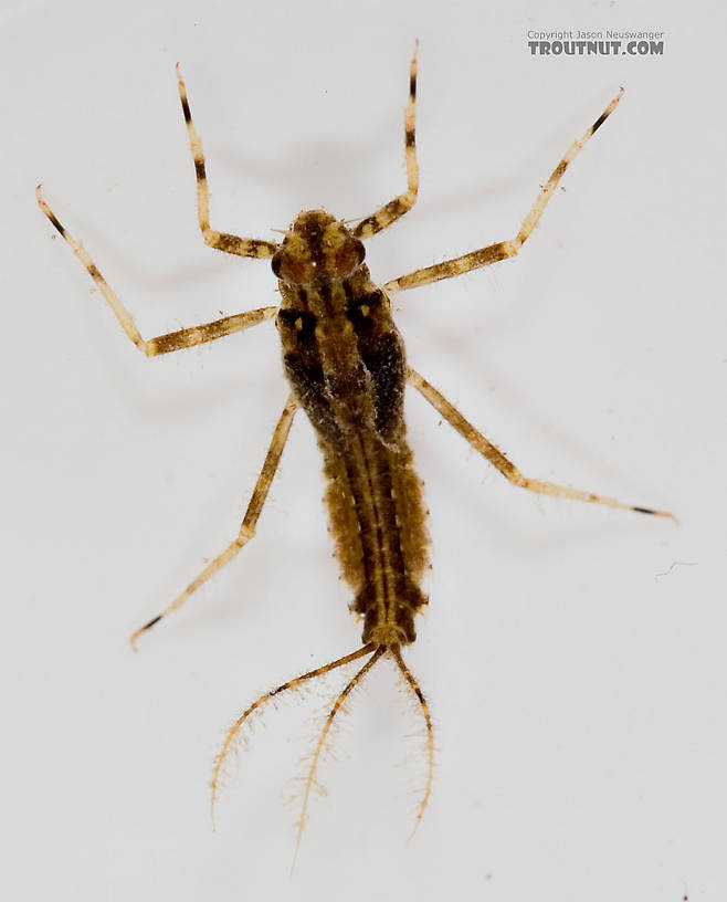 Penelomax septentrionalis Mayfly Nymph from the Delaware River in New York