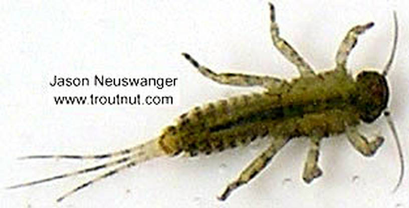 Ephemerellidae (Hendricksons, Sulphurs, PMDs, BWOs) Mayfly Nymph from unknown in Wisconsin