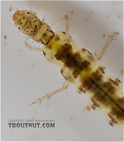 Polycentropus (Brown Checkered Summer Sedges) Caddisfly Larva