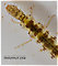 Polycentropus (Brown Checkered Summer Sedges) Caddisfly Larva