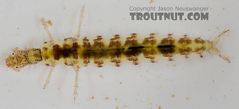 Polycentropus (Brown Checkered Summer Sedges) Caddisfly Larva from the Delaware River in New York