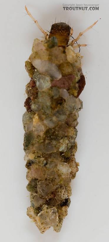 Lepidostoma (Little Brown Sedges) Little Brown Sedge Larva from the Delaware River in New York