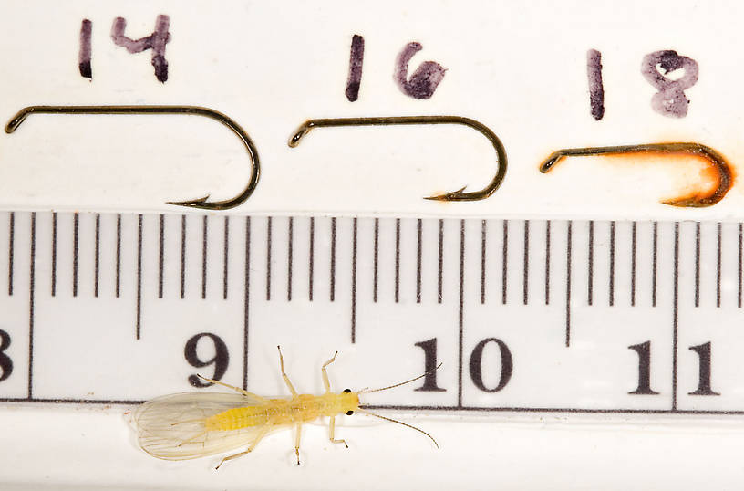 Sweltsa onkos (Sallfly) Stonefly Adult from Mystery Creek #62 in New York