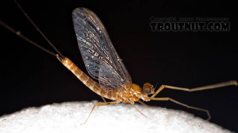 Male Epeorus (Little Maryatts) Mayfly Spinner from Enfield Creek in Treman Park in New York