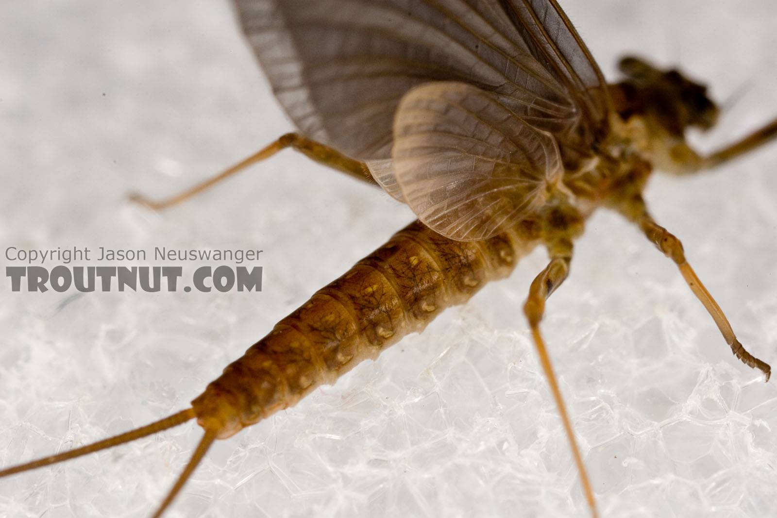 Female Epeorus (Little Maryatts) Mayfly Dun from Enfield Creek in Treman Park in New York