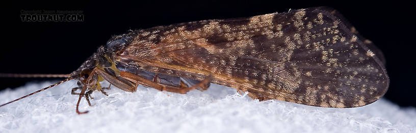Hydropsyche aenigma (Spotted Sedge) Caddisfly Adult from the West Branch of the Delaware River in New York