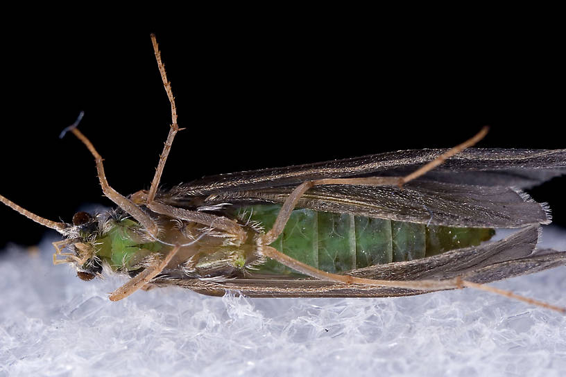Brachycentrus appalachia (Apple Caddis) Caddisfly Adult from the West Branch of the Delaware River in New York