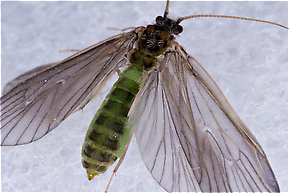 Brachycentrus appalachia (Apple Caddis) Caddisfly Adult