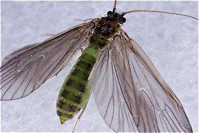 Brachycentrus appalachia (Apple Caddis) Caddisfly Adult