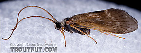 Apatania (Early Smoky Wing Sedges) Caddisfly Adult