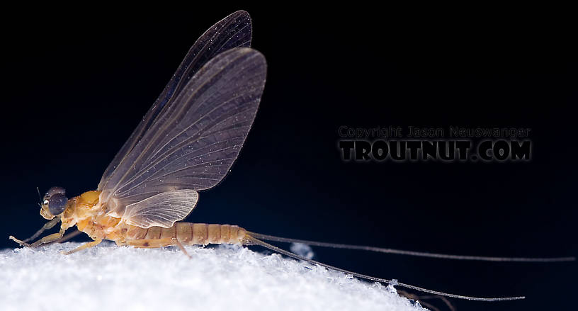 Male Epeorus (Little Maryatts) Mayfly Dun from the West Branch of the Delaware River in New York