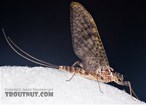 Female Maccaffertium vicarium (March Brown) Mayfly Dun