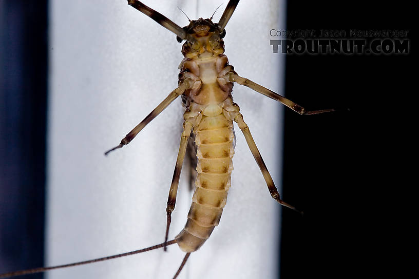 Female Maccaffertium vicarium (March Brown) Mayfly Dun from the Neversink River in New York