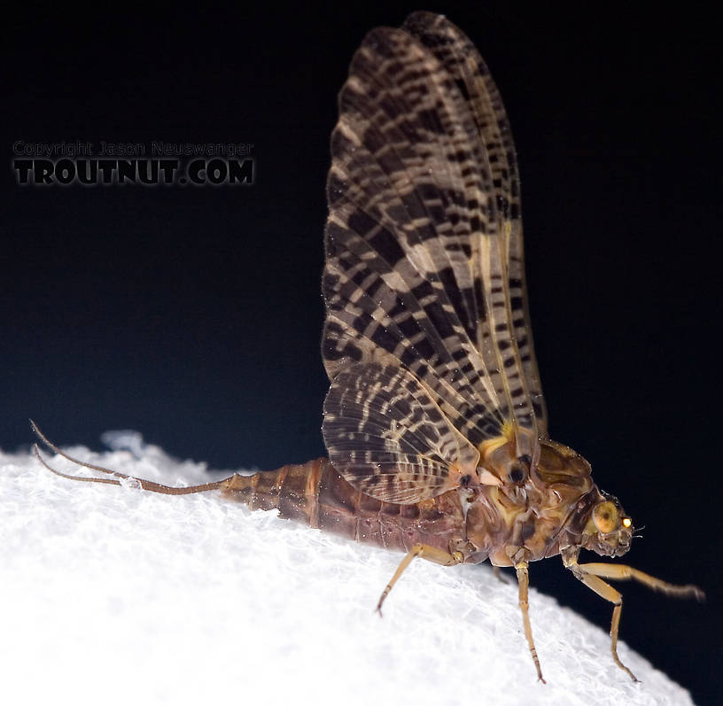 Female Baetisca obesa (Armored Mayfly) Mayfly Dun from the Neversink River (aquarium-raised) in New York