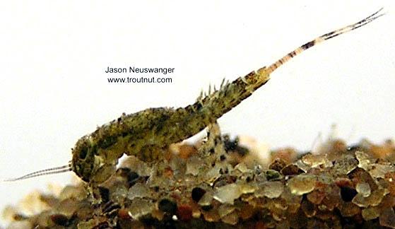 Ephemerella invaria (Sulphur Dun) Mayfly Nymph from unknown in Wisconsin