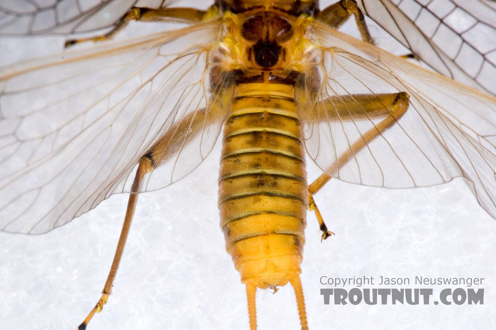 Female Acroneuria lycorias (Golden Stone) Stonefly Adult from Aquarium (collected somewhere in Catskills) in New York