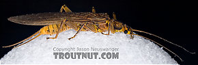 Female Acroneuria lycorias (Golden Stone) Stonefly Adult