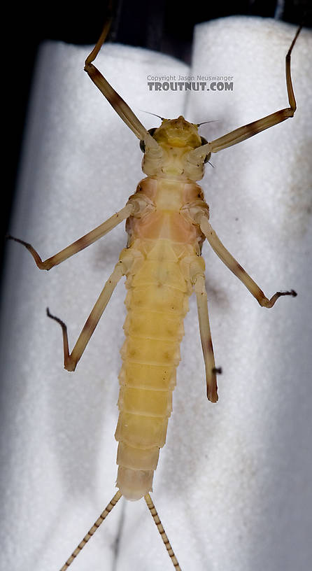 Female Maccaffertium ithaca (Light Cahill) Mayfly Dun from the Little Juniata River in Pennsylvania