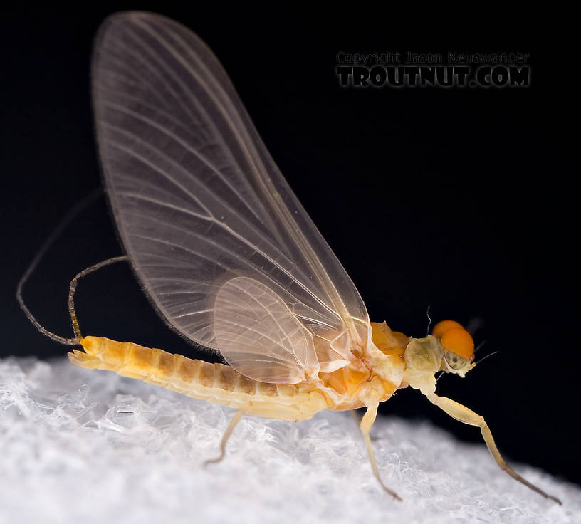 Male Ephemerella invaria (Sulphur Dun) Mayfly Dun from the Little Juniata River in Pennsylvania