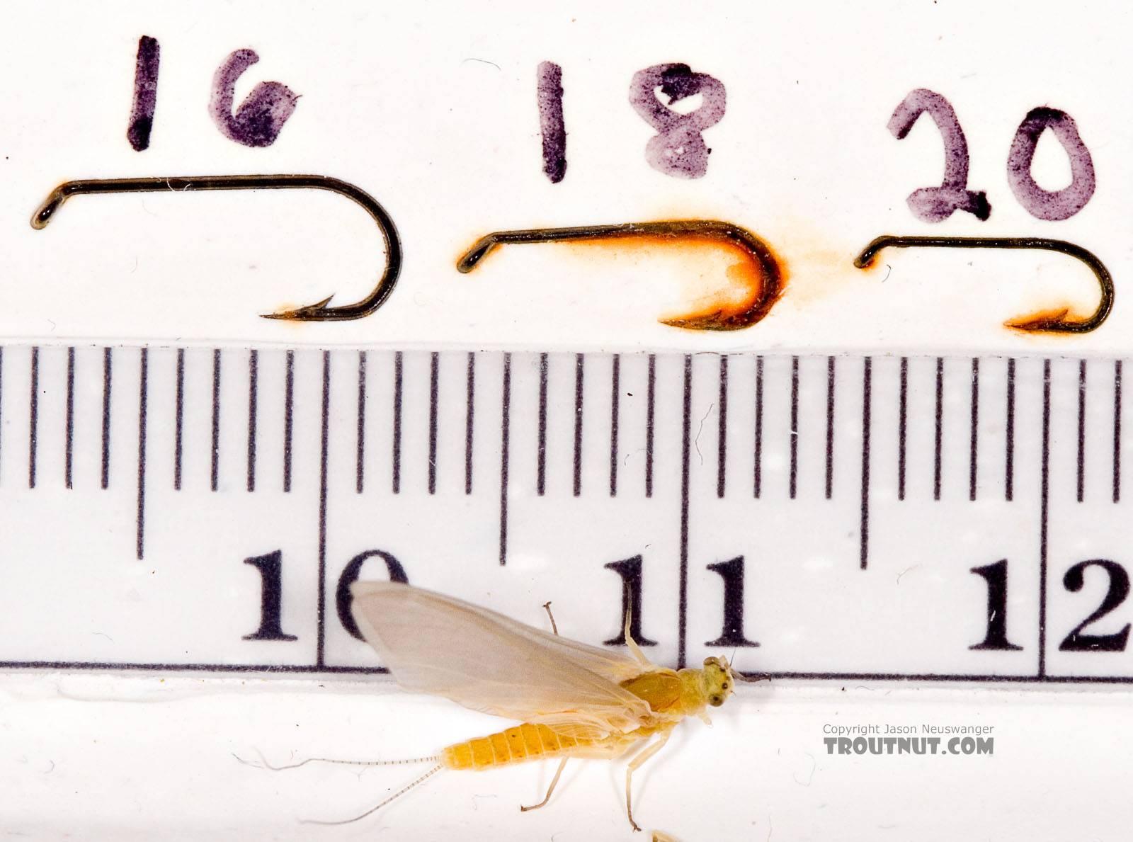 Female Ephemerella invaria (Sulphur Dun) Mayfly Dun from the Little Juniata River in Pennsylvania