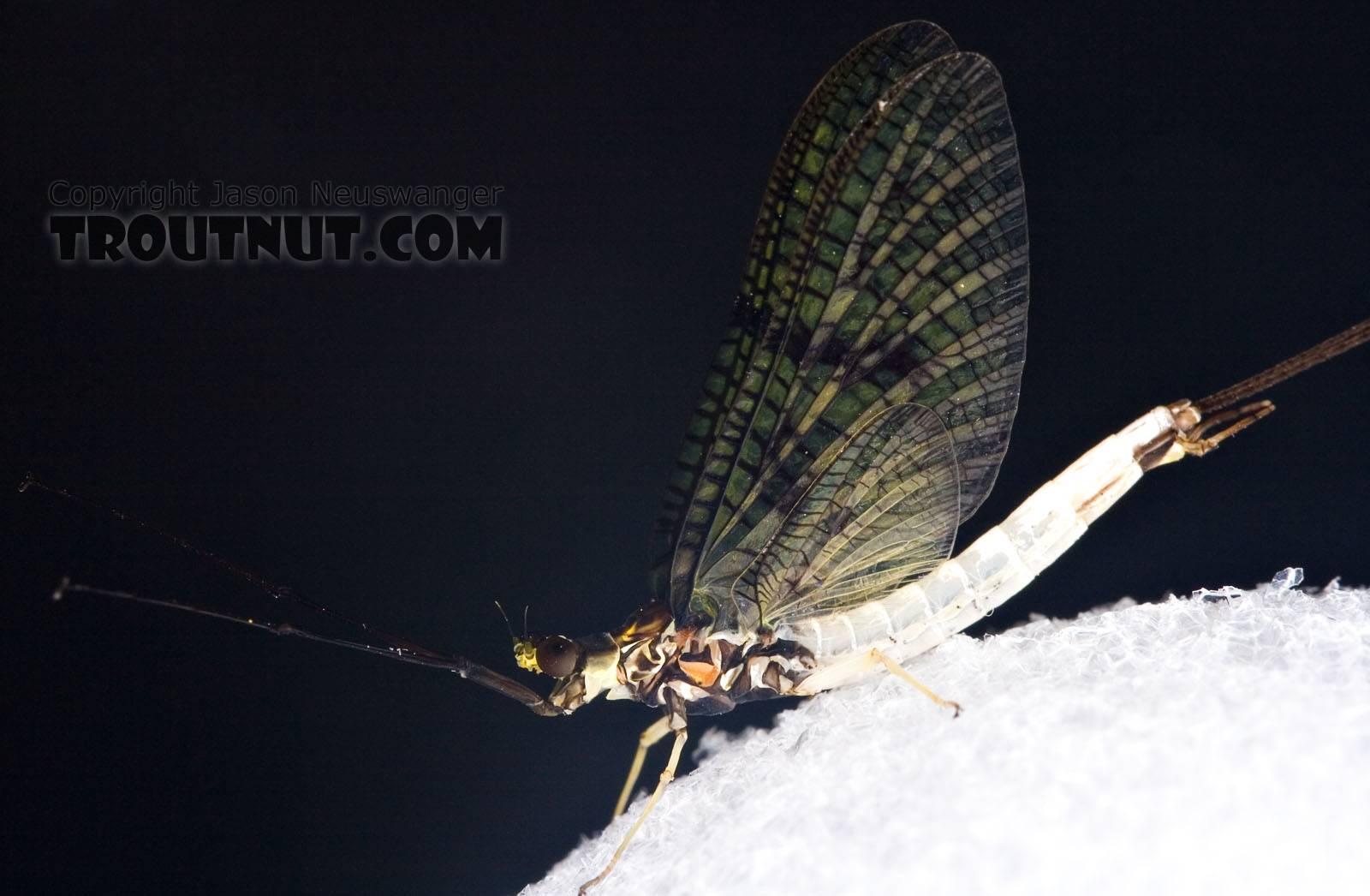 Male Ephemera guttulata (Green Drake) Mayfly Spinner from Penn's Creek in Pennsylvania