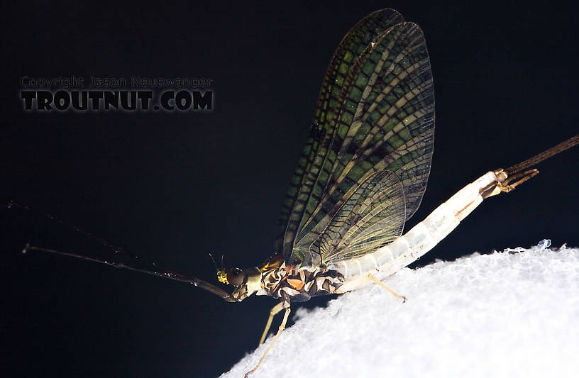 Male Ephemera guttulata (Green Drake) Mayfly Spinner from Penn's Creek in Pennsylvania