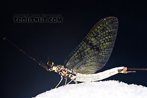 Male Ephemera guttulata (Green Drake) Mayfly Spinner