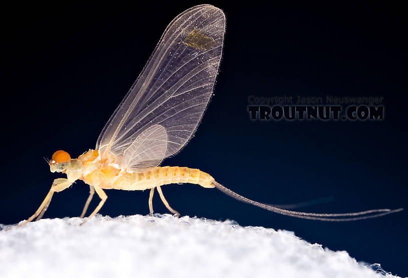 Male Ephemerella invaria (Sulphur Dun) Mayfly Dun from Penn's Creek in Pennsylvania