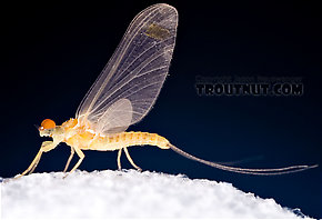 Male Ephemerella invaria (Sulphur Dun) Mayfly Dun