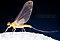 Male Ephemerella invaria (Sulphur Dun) Mayfly Dun