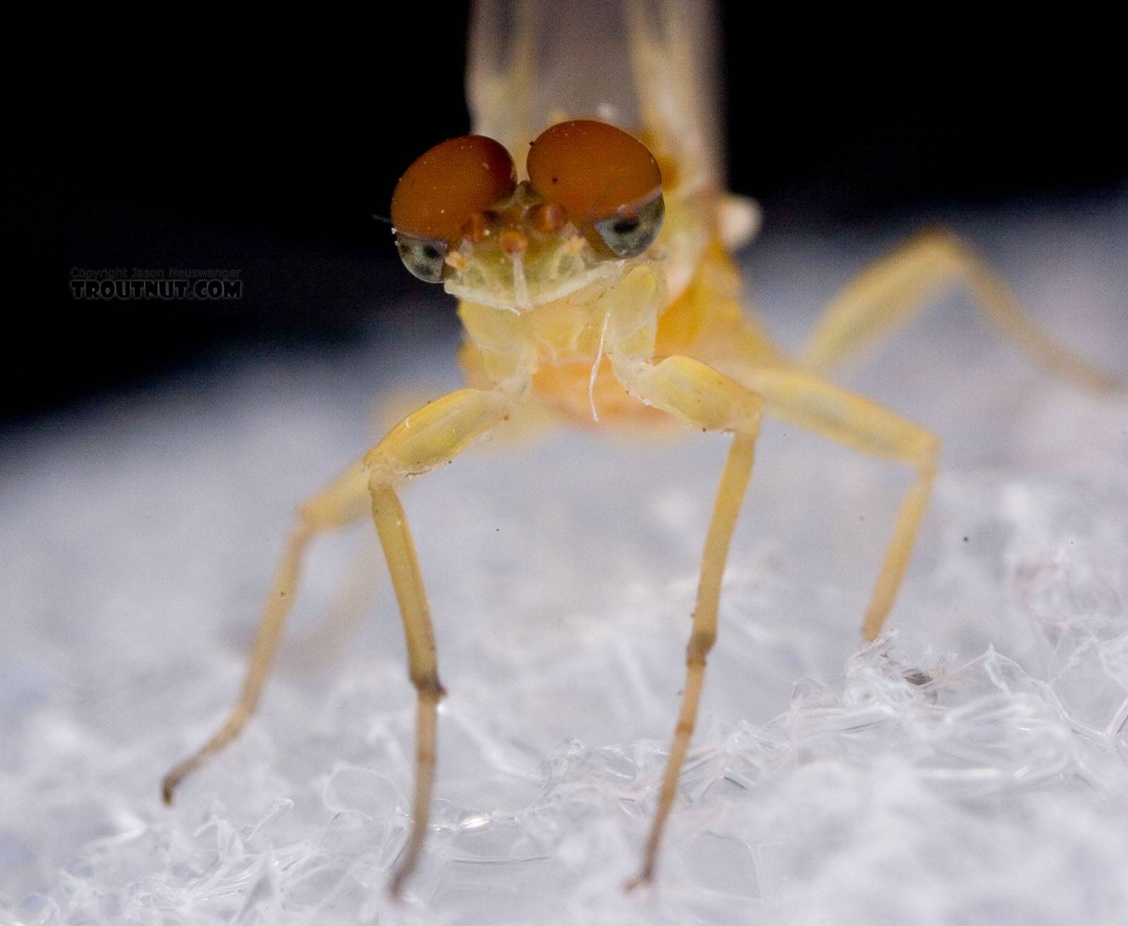 Male Ephemerella invaria (Sulphur Dun) Mayfly Dun from Penn's Creek in Pennsylvania