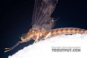 Female Isonychia bicolor (Mahogany Dun) Mayfly Dun